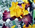 One Iris Rhizome assorted colors - tall bearded iris - iris bulb - flower bulb - Cleaned