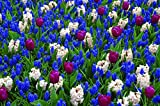 Burpee's Love is in the Air Mix - 20 Flower Bulbs | Blue & White
