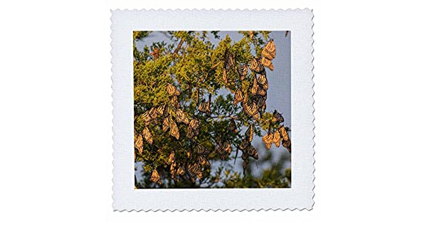 Illinois Quilt Square 25 x 25 3dRose qs/_259333/_10 Monarch Butterflies roosting in Eastern Red Cedar