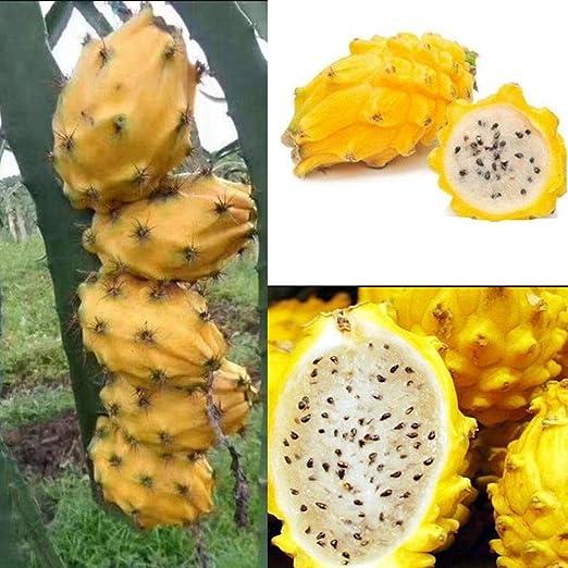 Semillas de Fruta de La Pitaya, 30pcs Semillas Frutales Comestible ...