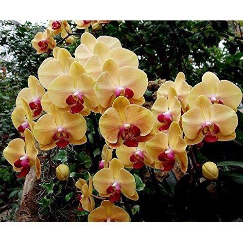 amazoncom 100pcs orchidseed flower seeds for home garden orchid seeds orquidea semente garden u0026 outdoor