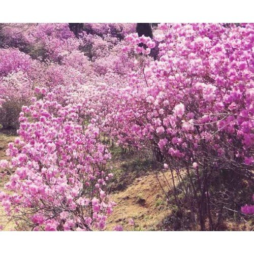 (1 gallon) poukhanense Azalea- A hardy semi-evergreen shrub valued for its abundance of charming lavender-pink flowers in early spring. by Pixies Gardens (Image #1)