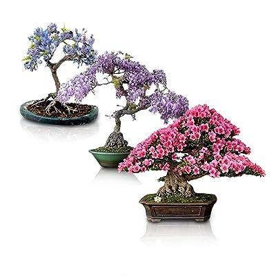 Flowering Bonsai Tree Seeds Bundle - 3 Types, All Flowering Tree Seeds, Vibrant Colors - Chinese Wisteria, Japanese Cherry Blossom, Blue Jacaranda : Garden & Outdoor
