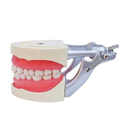 Denshine Dental Teach Study Adultos Estándar Tipodont Demostración Modelo Dientes Modelos de dientes enseñanza