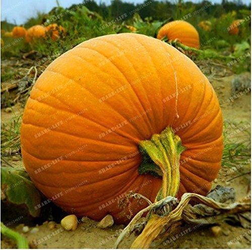 New Giant Pumpkin 20+ Seeds Halloween Pumpkin Organic Seeds - Cucurbita ()