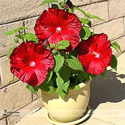 Amazoncom 100pcsbag Hibiscus Flower Seeds Giant Hibiscus Seed