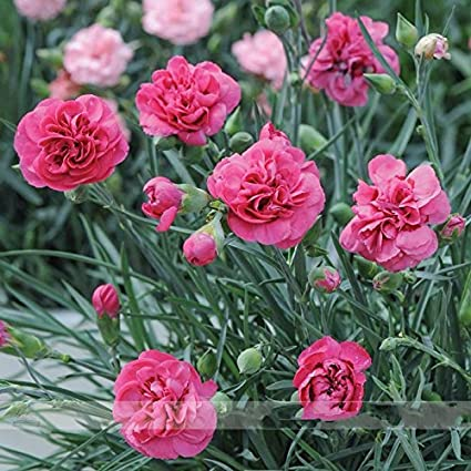 Amazon hardy perennial dianthus scents of summer pink peony hardy perennial dianthus scents of summer pink peony carnation flower seeds professional pack mightylinksfo