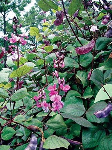 Amazon Com Purple Hyacinth Bean Seeds Very Colorful Vining