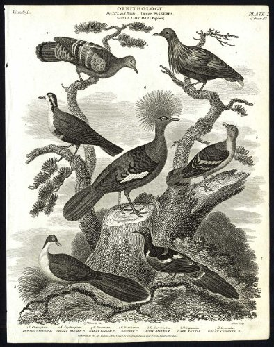 Antique print-NATURAL HISTORY-BIRD-PIGEON-GARNET-BRONZE-WINGED-Rees-1820
