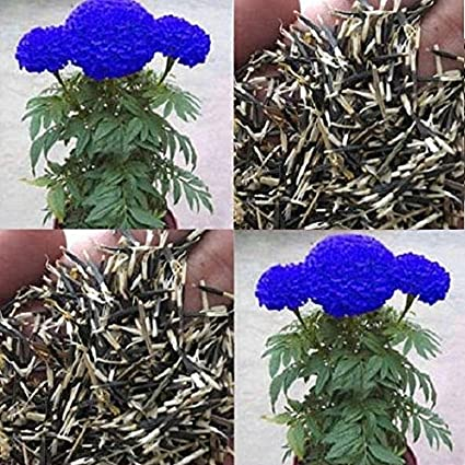 NooElec Seeds India Purple Blue Marigold Seed - 50 Seeds