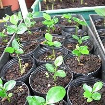 Fruit seeds Orange Tree Seeds DWARF WASHINGTON NAVEL Grow Indoors or Outdoors