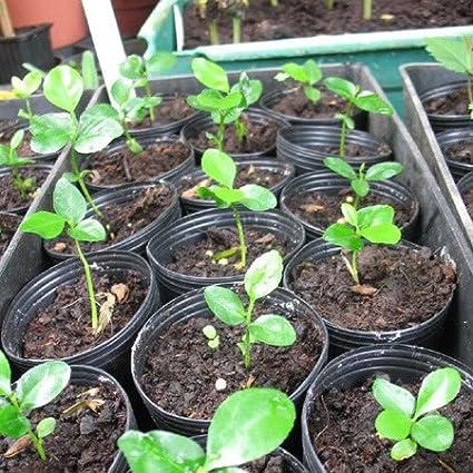 Fruit seeds Orange Tree Seeds DWARF WASHINGTON NAVEL Grow Indoors or Outdoors nikstoreinus