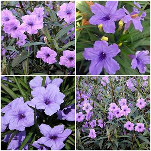 12 Mexican Petunia ~ Ruellia Brittoniana Perennial Well Rooted Live Plant