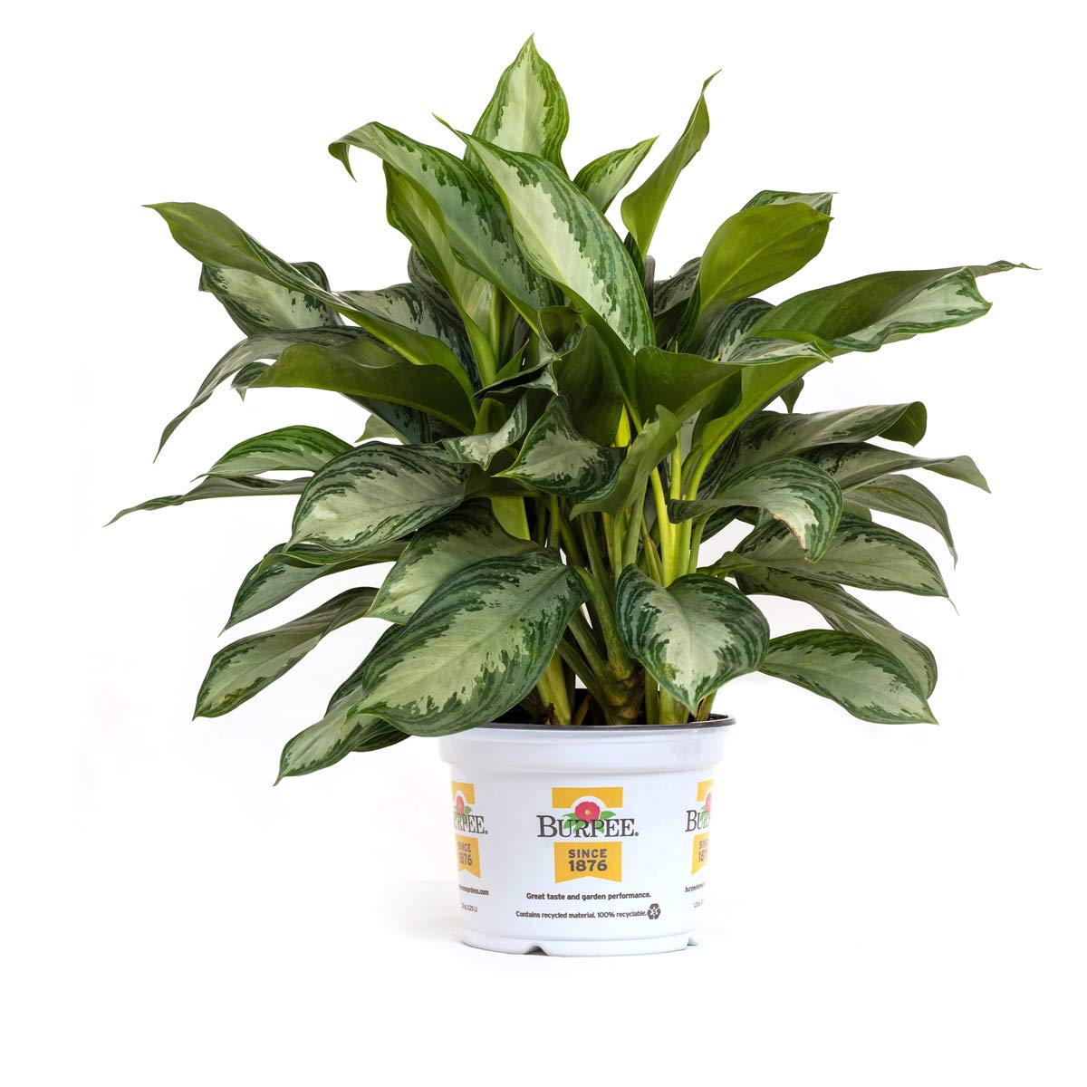 Burpee Agloanema Silver Bay |Indirect Medium Light | Live Easy Care Indoor House Plant, 6'' Pot by Burpee
