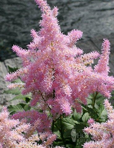 Sprite Pink Astilbe -