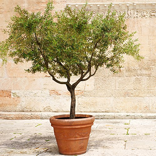 Arbequina Olive Tree - Get Olives 1st Year with Large Trees - Up to 6 ft. Tall! by Brighter Blooms (Image #1)