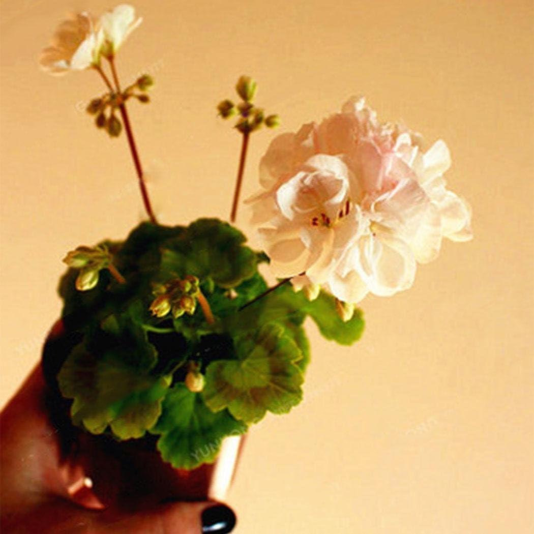 Lonlier Semillas Geranio 20 pcs Bonsai Semillas de Colores Flores para Jardín Huerto