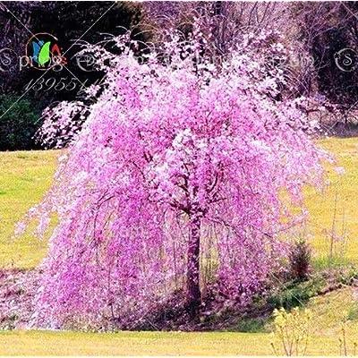 10pcs White Fountain Weeping Cherry Tree Seeds, Japanese Bonsai Sakura Tree Seeds DIY Home Garden Dwarf Tree : Garden & Outdoor