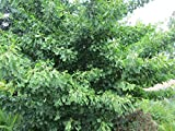"""Ginkgo Biloba Tree 18""""- 24"""" Bare Root - 1 1/2 yr Old Plant - 3 Pack"""