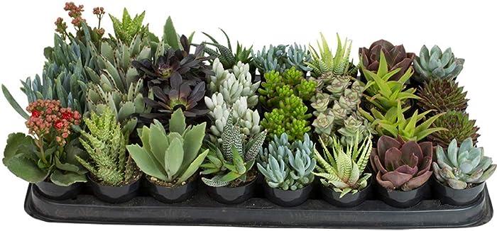 """Altman Plants, Live Succulent Plants (32 Pack) 2.5"""" Potted Succulents Plants Live House Plants, Bulk Cactus Plants Live Indoor Plants Live Houseplants in Planter Pots, Cacti and Succulent Soil Mix"""