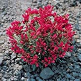 500 Purslane Seeds Rock (Calandrinia Umbelleta Ruby Tuesday) FLOWER SEEDS
