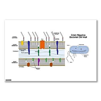 Amazon.de: Poster Kunstdruck: gram-negative bakterielle Zelle Wand ...