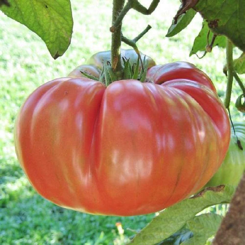 "/""FREE SHIPPING/""/<Non-GMO/> Yellow Plum Tomato *Heirloom* 50 Seed/'s"