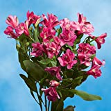 GlobalRose 240 Blooms of Hot Pink Fancy Alstroemerias 60 Stems - Peruvian Lily Fresh Flowers for Delivery
