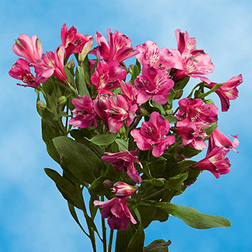 GlobalRose 240 Blooms of Hot Pink Fancy Alstroemerias 60 Stems - Peruvian Lily Fresh Flowers for Delivery by GlobalRose