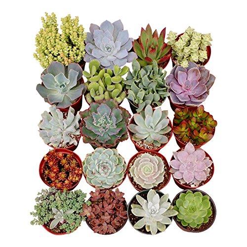 Shop Succulents Assorted Succulent (Collection of 40), 4'' by Shop Succulents