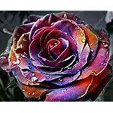 100pcs Rosa geheimnisvolle schwarze Rose Blume Samen mehrjährige Pflanzensamen
