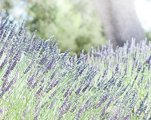 Lavender Hill Floral (Floral Lavender Wall Art, - Large Photo Prints (11x14, 16x20, 20x24, or 24x30 inches), 'Fields Of Lavender')