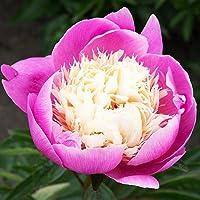 1x Rizoma Peonias Plantas de exterior Peonias naturales Flores para plantar Peonia Bowl of Beauty
