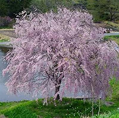 """Weeping Yoshino Cherry Tree Shidare - Established Roots 2.5"""" Potted 3 plants by Growers Soltuion"""