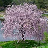 "Weeping Yoshino Cherry Tree Shidare - Established Roots 2.5"" Potted 3 plants by Growers Soltuion"