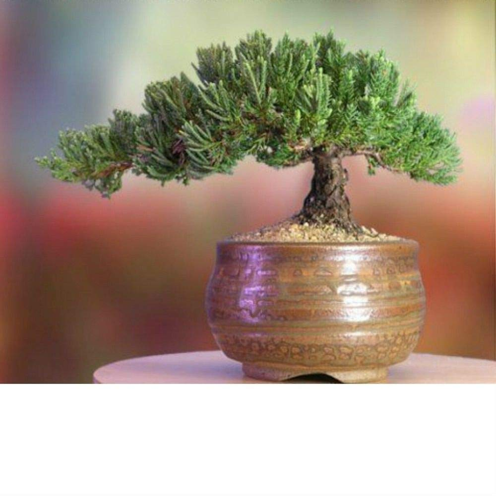 A Bonsai Juniper 6 to 7 Year Old Tree in Han-Kengai Cup Garden Home Live Plant A6 by owzoneplant