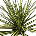 "Kiwi Dragon Tree - Dracaena marginata - 6"" Pot - Easy to Grow House Plant"