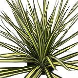 """Kiwi Dragon Tree - Dracaena marginata - 6"""" Pot - Easy to Grow House Plant"""