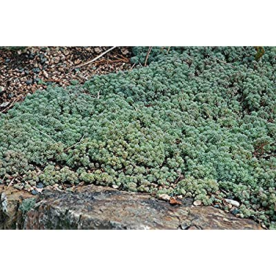 Sedum Hispanicum 30 seeds Spanish Stonecrop ground cover succulent CombSH D44 : Garden & Outdoor
