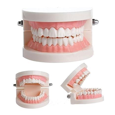 Wildeal Estándar Diente enseñanza Gigante Dental Dentista Dientes Niño kidtraining Médico Modelo pedagógico