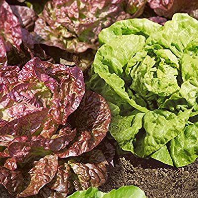 Park Seed Butterhead Blend Lettuce Seeds : Garden & Outdoor