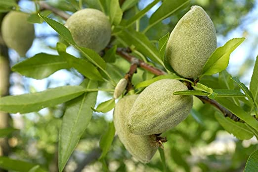 1 METRO Pianta da frutto ALBERO DI MANDORLO DOLCE TUONO A RADICE NUDA