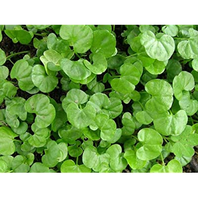 Dichondra Repens Grass Seeds - 1 Pound : Garden & Outdoor