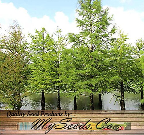 Grow Bald Cypress - 10 x SOUTHERN Bald Cypress, Taxodium distichum Southern, Tree Seeds AKA Swamp Cypress - Fast Growing Long Lived - FRESH SEEDS - Cold Hardy Zones 6+ - By MySeeds.Co (1 Pack)