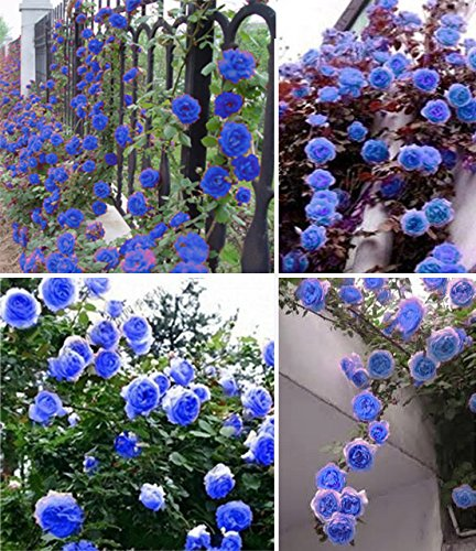 pianta rampicante fiori blu