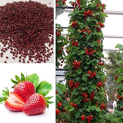 giant-climbing-strawberry-seeds-rare-color-strawberry-fruit-seeds-home-garden-diy-for-bonsai-100-see