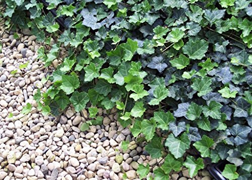 Jmbamboo - Thorndale English Ivy 48 Plants - Hardy Groundcover - 2 1/4