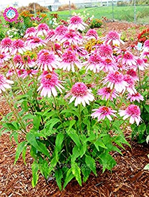 50PCS Rare Orange Echinacea Seeds Perennial Flower Seeds Coneflower Showy Much-doubled Flower Heads Potted Plant For Garden 7