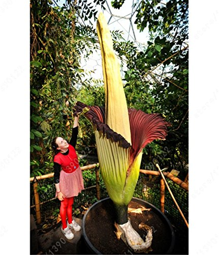 5 seeds Corpse flower,the Titan arum is also known as the