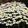"Silver Princess-Dwarf ""SHASTA DAISY"" Chrysanthemum Maximum 30+Perennial Seeds"
